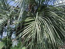 10 Yatay Palme Samen-Butia yatay