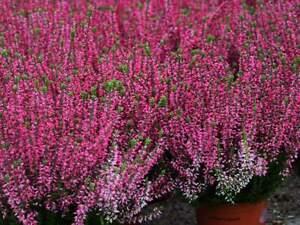 10x Besenheide Sommerheide Heidekraut - Calluna Vulgaris - Pink Rosa - ATHENE