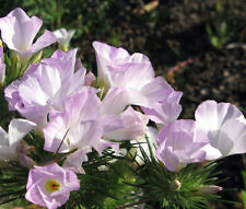 Mountain Phlox Linanthus Grandiflorus - 1,000 Seeds