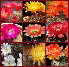 Lobivia Seed Mix Exotic Rare Flowering Cacti Seeds 30 seeds