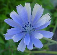 chicory, 100 seeds, BLUE BEAUTY, COFFEE SUBST, GroCo*