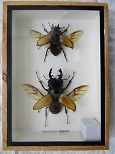 ORANGE STAG BEETLE PAIR - MOUNTED IN WOODEN BOX - TAXIDERMY INSECT with WINGS