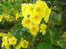12 Semillas - Bignonia - TECOMA STANS - Árbol de Flor - Jardín - Samen Semi