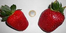Winterfeste Riesen-Erdbeere Fragaria Giant ❆ Besonders schmackhaft ❆ Samen ❆ ...