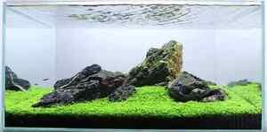 Micranthemum sp. Monte Carlo - Live Aquarium/Fish Tank Plant HC