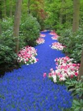 30+ MUSCARI NEGLECTUM BULBS - Grape Hyacinth - Easy Hardy Perennial Blue Flowers
