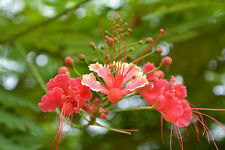 CAESALPINIA PULCHERRIMA ROSA 5 semi seeds Poinciana Peacock pink Flowers