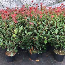 PHOTINIA fraseri Red Robin sempreverdi lucentezza mispel 120-140 cm in vaso