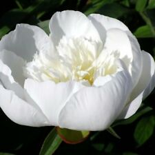 Paeonia lactiflora Immaculee 2L   Pivoine de Chine 'Immaculée'
