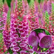 10000PCS Colorful Foxglove Foxy Mix Seeds Digitalis Purpurea Flower Garden Seed