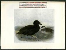 Common Scoter Bird Print Bonhote 1907