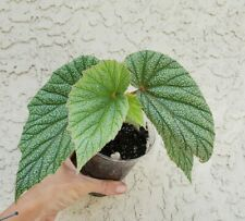 """Angelwing Begonia """"Frosty"""" Aka """"Sinbad Pink"""" Well Rooted Starter Plant"""