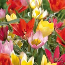 10 DWARF TULIPS Wild MIXED COLOUR GARDENING SPRING FLOWER PERENNIALS BULB CORM