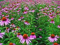 250 Samen Echinacea purpurea, Purpur-Sonnenhut, Roter Scheinsonnenhut