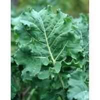 Kale SPRING HANOVER Heirloom BULK 5,000 Seeds (1/2 oz) Fast Growing Cold Hardy