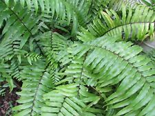 New listing 6 Macho Fern Plants - Fast Growing - Easy To Grow - Partial Shade - Gorgeous!