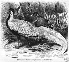 SILBERFASAN FASAN HÜHNER Holzstich 1891 Vogel Ornithologie