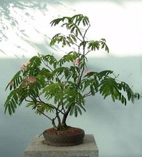 25 Sensitive plant seeds - Mimosa Pudica - Container, landscape or Bonsai - US