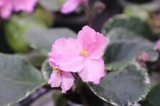 African Violet Buckeye Torch Song 2 leaves