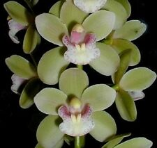 SARAH JEAN 'GREEN ICE' M251 Cascading Cymbidium seedling orchid plant in polypak