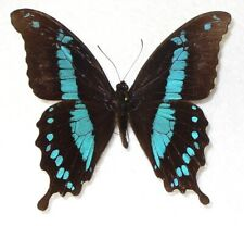 Butterfly/Moth Papilio hornimani - Swallowtail - male from Tanzania