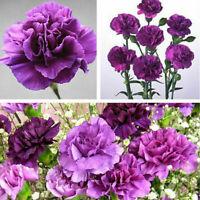 175 Pcs Magenta Nelke Dianthus-blumen-anlage Caryophyllus DIY Blume G Samen N5I2