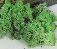 MINT GREEN Reindeer Moss Cladonia Tillandsia air plant house vivarium wood