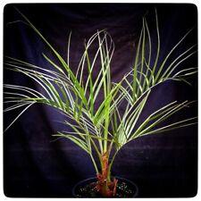 Butia capitata, stem/plant/total 15/75-100/100/120 cm