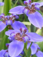 Neomarica caerulea  Rare Evergreen Brazilian Iris
