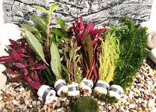 Aquariumpflanzen Set 6 XXL Bunde, Aquarienpflanzen, Wasserpflanzen, Dicke Bunde