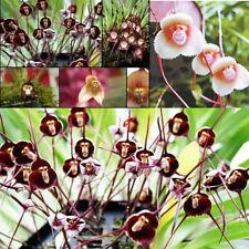 10 Rare Monkey Face Orchid Seeds Dracula Cute Simia Flower Garden Plant S093