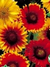 "Gaillardia ""Choice Mix"" x 50 seeds. Drought tolerant Flower. Gift in store"