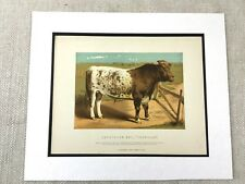 Antique Print Prize Cow Cattle Shorthorn Bull Agricultural Show Art Victorian