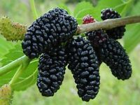 Black Mulberry Seed Edible Fruit DeciduousTree Frost Hardy Spring Fruiting