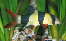 "Premium Clown Loach select 2-2.25"" live freshwater aquarium fish"