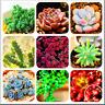Succulents Garden Lithops Pseudotruncatella Bonsai Flowers Plants 100 PCS Seeds