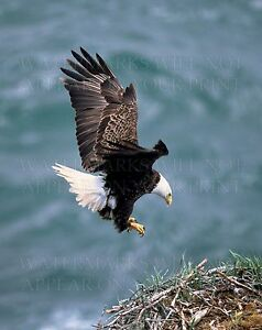 American Bald Eagle arrives at nest, new 5x7 color print or request digital CD