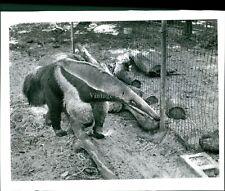 1961 Anteater Animal Furry Creature Cage Dirt Brick Logs Vintage Photo 8X10