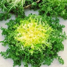 Seeds Endive Yellow Heart Curly Frise Chicory Lettuce Heirloom Organic