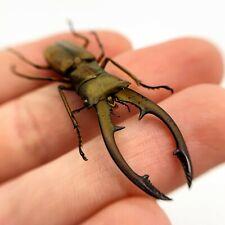 Longjaw Beetle (Cyclommatus tarandus) Insect Specimen Taxidermy