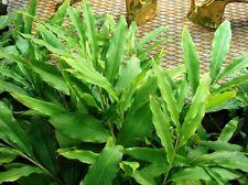50 Amomum subulatum Seeds, Black cardamom Seeds for Growing,  winged cardamom,