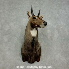 #17898 P | Nilgai Antelope Shoulder Taxidermy Head Mount For Sale