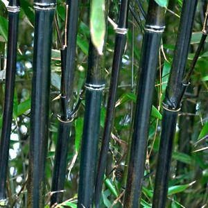 Phyllostachys Nigra (Black Bamboo)   50 Fresh plant seeds