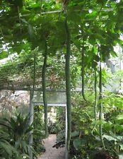 Luffa aegyptiaca - Loofah Bath Sponge Gourd - Grow Your Own - 15 Fresh Seeds