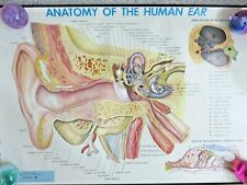 """New listing Discounted Vintage Anatomy of the Human Ear Wall Hanging Chart 24"""" x 34"""" 1957"""