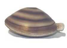 Aaa 95816 Large Clam Mollusc Sea Shell Sealife Model Toy Shellfish Replica - Nip