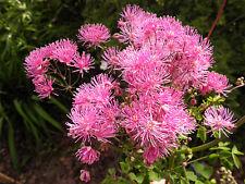 Meadow Rue - 50 semillas-Thalictrum aquilegifolium-perenne Semillas De Flores