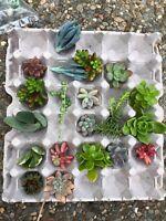 succulent cuttings 15 varieties 20 cuttings mini garden starter chicks and hens