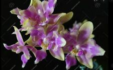 """Taiwan Orchidee Phalaenopsis PINK BEE """"ES"""" pelorisch"""