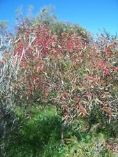 Eucalyptus leucoxylon  – Pink Flowering Yellow Gum, seed, x 100 Australian